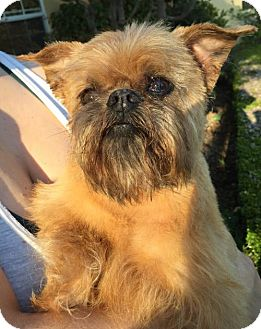 Brussels Griffon Dog for adoption in Fresno, California - Grace