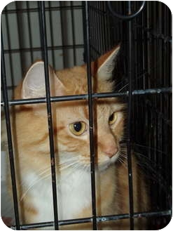 Domestic Shorthair Cat for adoption in Westfield, Massachusetts - Mimi#2