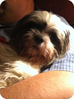 Shih Tzu Mix Dog for adoption in Shirley, New York - Theodore