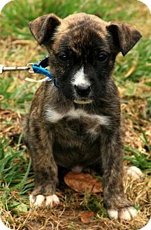 Boxer/Labrador Retriever Mix Puppy for adoption in Windham, New Hampshire - Kate
