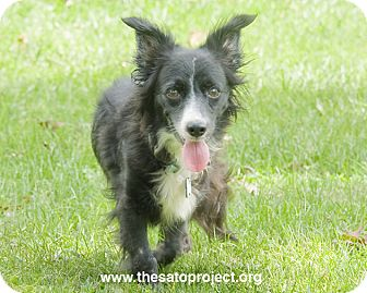 Papillon/Terrier (Unknown Type, Small) Mix Dog for adoption in Brooklyn, New York - Swan