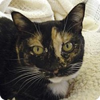 Domestic Shorthair Cat for adoption in Mountain Center, California - Scarlet