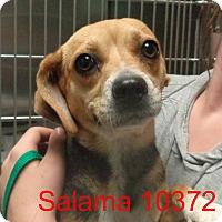Adopt A Pet :: Salama - Greencastle, NC