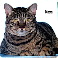 Domestic Shorthair Cat for adoption in Arkadelphia, Arkansas - Maya
