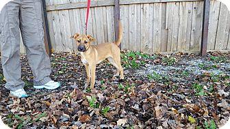 Hound (Unknown Type)/Labrador Retriever Mix Puppy for adoption in Frankfort, Illinois - Wendy
