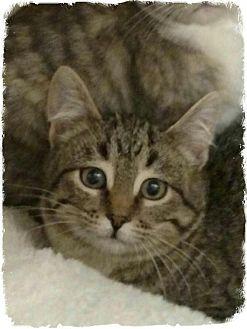 Domestic Shorthair Kitten for adoption in Pueblo West, Colorado - Mollie
