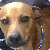Terrier (Unknown Type, Medium) Mix Dog for adoption in St. Thomas, Virgin Islands - Red