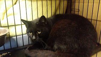 Domestic Shorthair Cat for adoption in Berlin, Connecticut - Velvet