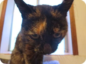 Polydactyl/Hemingway Cat for adoption in Coos Bay, Oregon - Ms. Mingus