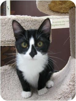 Domestic Shorthair Kitten for adoption in Brea, California - Pickles
