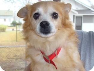 Pomeranian Dog for adoption in Raleigh, North Carolina - PRANCER