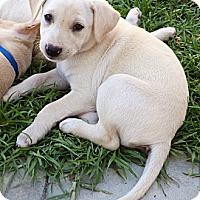 Adopt A Pet :: Asher - Long Beach, CA