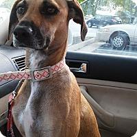 Adopt A Pet :: Bree - Leesburg, VA