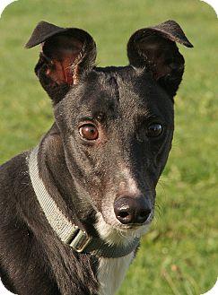 Greyhound Dog for adoption in Portland, Oregon - Dee