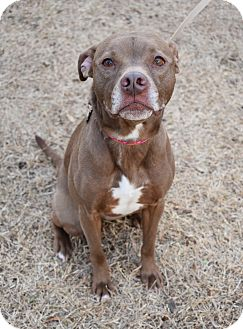 Pit Bull Terrier/Chihuahua Mix Dog for adoption in Memphis, Tennessee - Annie