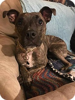 American Staffordshire Terrier Mix Dog for adoption in Cranston, Rhode Island - Odie