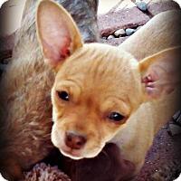 Adopt A Pet :: Oboe - Tijeras, NM