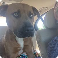 Adopt A Pet :: Bentley - Clarksville, TN