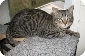 Domestic Shorthair Cat for adoption in Shelton, Washington - Wally