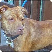 Adopt A Pet :: Layla - Raleigh, NC