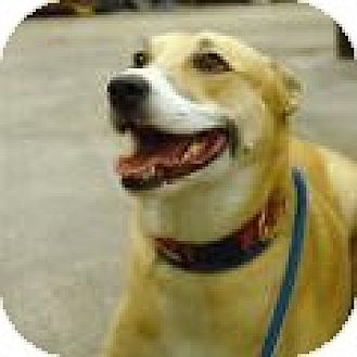 Shepherd (Unknown Type) Mix Dog for adoption in Stafford, Virginia - Ginger