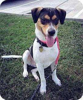 Foxhound Mix Dog for adoption in Beaumont, Texas - Jessie