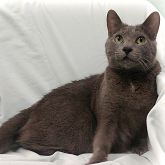 Domestic Shorthair Cat for adoption in Toronto, Ontario - Garey
