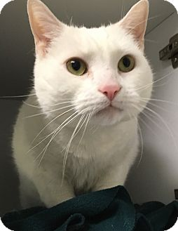 Domestic Shorthair Cat for adoption in Ardsley, New York - Snow & White
