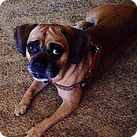 Adopt A Pet :: Boscoe ~ Adoption Pending - Youngstown, OH