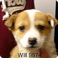 Adopt A Pet :: Will - Greencastle, NC