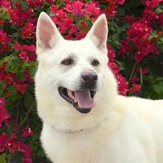 German Shepherd Dog Dog for adoption in San Diego, California - Malcolm