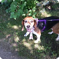 Adopt A Pet :: Daisy Mae - Iroquois, IL