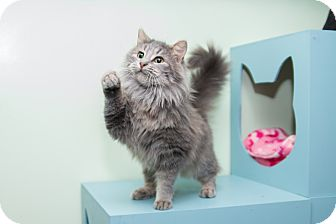 Maine Coon Cat for adoption in Chicago, Illinois - Pammy