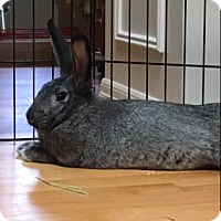 Flemish Giant Mix for adoption in Bellevue, Washington - Remi