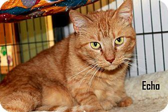 Domestic Shorthair Cat for adoption in Arkadelphia, Arkansas - Echo
