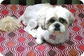 Shih Tzu/Pekingese Mix Dog for adoption in Bedminster, New Jersey - Hadley