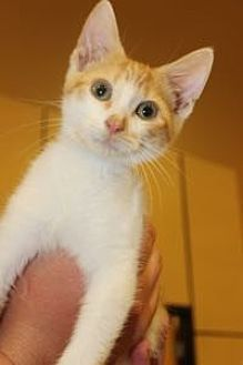 Domestic Shorthair Kitten for adoption in Louisville, Kentucky - Julian