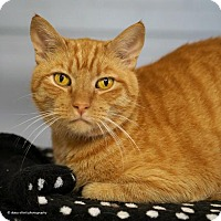 Domestic Shorthair Cat for adoption in Tucson, Arizona - Popsicle