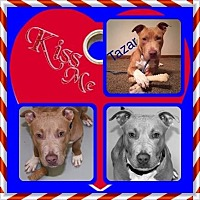 American Staffordshire Terrier/American Pit Bull Terrier Mix Dog for adoption in Louisiana, Missouri - Tazar