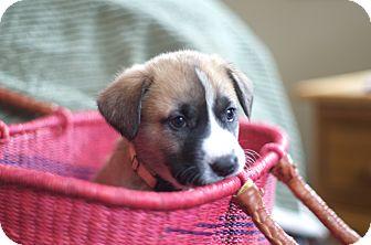 Labrador Retriever Mix Puppy for adoption in Evergreen, Colorado - Esotery