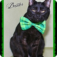 Domestic Shorthair Cat for adoption in Shippenville, Pennsylvania - Baxter