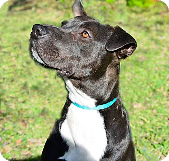 "American Staffordshire Terrier/Labrador Retriever Mix Dog for adoption in North East, Florida - Jack London ""Jack"""