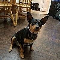Adopt A Pet :: Jules - Mesa, AZ