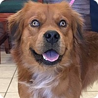 Retriever (Unknown Type) Mix Dog for adoption in Rockville, Maryland - Lumiere