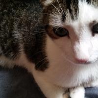 Adopt A Pet :: Mickey - Harrison, NY