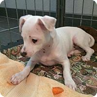 Adopt A Pet :: Paki - Phoenix, AZ