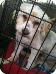 Terrier (Unknown Type, Medium)/Spaniel (Unknown Type) Mix Dog for adoption in Justin, Texas - Trent