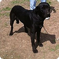 Labrador Retriever Mix Dog for adoption in Baton Rouge, Louisiana - Beauty