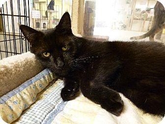 American Shorthair Cat for adoption in Westville, Indiana - Bobo