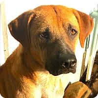 Adopt A Pet :: Donia - Austin, TX
